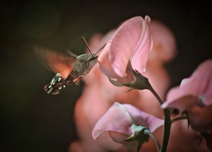 Макрофотограф колибри